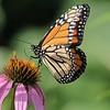 September 14 2021 - Monarch Butterfly