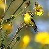 September 12 2021 - Goldfinch