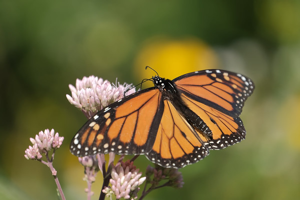 September 16 2021 - Monarch Butterfly