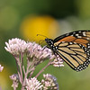 September 5 2021 - Monarch Butterfly