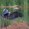 September 6 2021 - Great Blue Heron