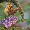 September 13 2021 - Fritillary Butterfly
