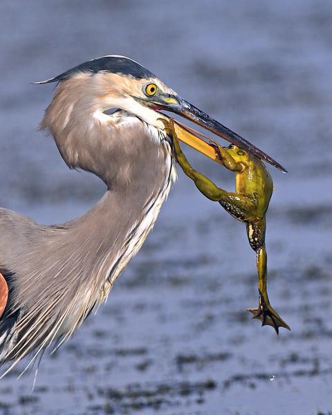 birds-blue deuce SIG Shot