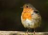 birds-Rayfin