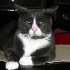 """Ozzie Cat  """"your in my space""""<br /> <br /> Photographer's Name: Vicky Desotelle<br /> Photographer's City and State: Keeseville, NY"""
