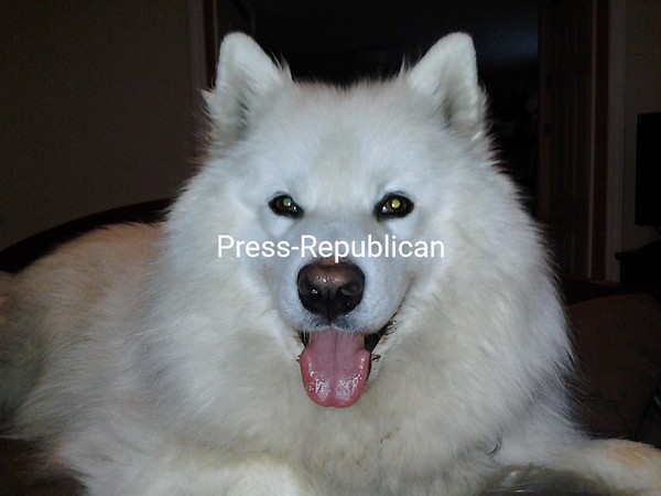 Happy Samoyed...That's Our Bear<br /> <br /> Photographer's Name: Melanie Gomes<br /> Photographer's City and State: Plattsburgh, NY