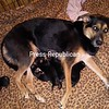 Sage should be top dog after giving birth to 6 healthy German shepherd puppies!<br /> <br /> Photographer's Name: Samantha Gendreau<br /> Photographer's City and State: Plattsburgh, NY