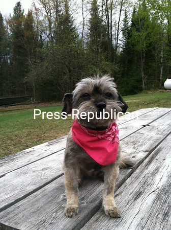 Toodles proudly displays her new hair cut.<br /> <br /> Photographer's Name: Laura LaFountain-Teeple<br /> Photographer's City and State: Malone, NY