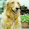 Honey - happy after a long walk!<br /> <br /> Photographer's Name: Connie Marsh<br /> Photographer's City and State: Plattsburgh, NY