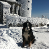 Bentley Bernese Mtn dog atop of Whiteface Mountain<br /> <br /> Photographer's Name: sue crowe<br /> Photographer's City and State: wilmington, NY
