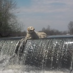 """Miss """"Riley Rose"""" sun bathing at the local dam in Chamlain.! She is an amazing dog and is loved by all that have the pleasure of meeting her :)<br /> <br /> Photographer's Name: Gail Roberts<br /> Photographer's City and State: Champlain, NY"""