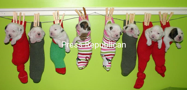 "American Bulldog pups   ""Just Hanging Around""<br /> <br /> Photographer's Name: Torri Rafferty-Potter<br /> Photographer's City and State: Crown Point, NY"