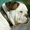 American Bulldog <br /> <br /> Photographer's Name: Torri Rafferty-Potter<br /> Photographer's City and State: Crown Point, NY