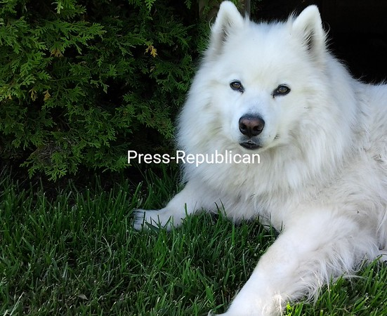 Our Beautiful Boy..Artic Bear Great Paws<br /> <br /> Photographer's Name: Melanie Gomes<br /> Photographer's City and State: Plattsburgh, NY