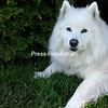 Artic Bear Great Paws...Our beautiful Samoyed<br /> <br /> Photographer's Name: Melanie Gomes<br /> Photographer's City and State: Plattsburgh, NY
