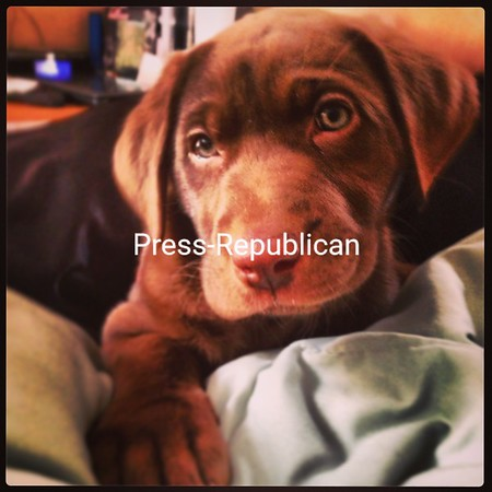 Chocolate Puppy<br /> <br /> Photographer's Name: Shaun Akin<br /> Photographer's City and State: Dannemora, NY