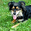 """""""I tried looking for a four-leaf clover, but no luck!""""<br /> <br /> 3-year old Shepherd/Pomeranian mix Candy.<br /> <br /> Owner: Alicia Kelly<br /> Photographer's Name: Bryan Nelson Elder"""