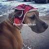 Great Dane Dixie Lee in her winter hat!<br /> <br /> Photographer's Name: Daniel Parnaby<br /> Photographer's City and State: Plattsburgh, NY