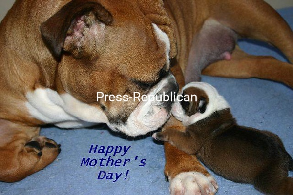 """Happy Mothers Day""   Olde English Bulldogge<br /> <br /> Photographer's Name: Torri Rafferty-Potter<br /> Photographer's City and State: Crown Point, NY"