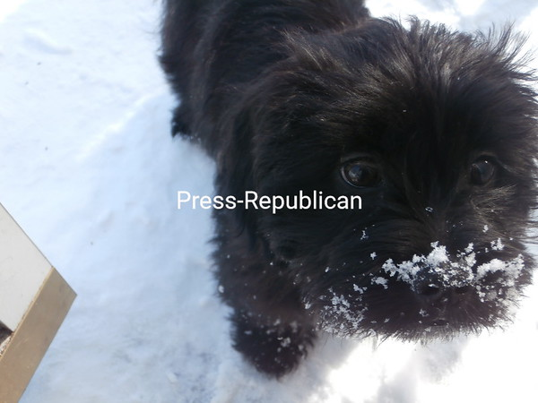Raisin's first time in the snow...and loving it<br /> <br /> Photographer's Name: patricia liberty<br /> Photographer's City and State: cadyville, NY