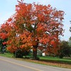 Maple tree in all its glory.