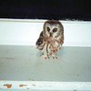 Melissa DeCoste sent in this photo of a northern saw-whet owl, a small species of owl, that landed on her garage in Champlain. She named him Henri. If you have a photo you would like to share, please send it to daprill2000@yahoo.com or drop it off at the Press-Republican.<br><br>(Photo Provided)