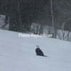 Bald Eagle sighted by Beth Besaw in her backyard in Cadyville on Wednesday afternoon during the snowstorm  Photographer's Name: Beth Besaw Photographer's City and State: Cadyville, NY