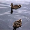 Mallards: A couple of mallard ducks on Cranberry Lake.