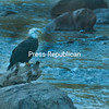 A bald eagle was perched on a rock on the east branch of the Ausable River in Ausable Forks this week.<br /> <br /> Photographer's Name: Gilles Lamarche<br /> Photographer's City and State: Au Sable Forks, NY
