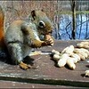 Red Squirrel: I had set these peanuts on the table at Ausable Point to toss to the Blue Jays and this Red Squirrel decied to get in on the action!