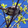 When I spotted this sparrow among the leaves with the blue sky as a backgroumd I just couldn't resist snapping this picture!