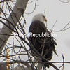 Jordan Deyo from Beekmantown spotted this bald eagle in a tree<br /> <br /> Photographer's Name: Jordan Deyo<br /> Photographer's City and State: Plattsburgh, NY