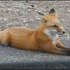 Red Fox Resting: Photographer Jim Brennan came upon this beautiful Red Fox relaxing alongside the Veteran's Highway on the way to Whiteface Mountain on October 10,2006.