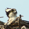 I photograped this osprey on it's nest at Ausable Point, NY in July 2008