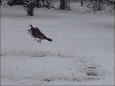 Turkey in flight: This scene was captured in Saranac.