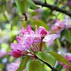 Crab Apple Blossoms, Village of Malone<br /> <br /> Photographer's Name: Hugh Hill<br /> Photographer's City and State: Malone, NY