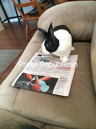 Our bunny, Rufus, likes to stay up to date on current events via the Press Republican.<br /> <br /> Photographer's Name: Karla Lyon<br /> Photographer's City and State: Plattsburgh, NY