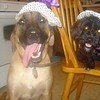 Roxie the lab mix and Sophie the Shih-Tzu/ Poodle Mix, ready for Halloween with their witch hats.