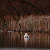 Swan, birds, wildlife