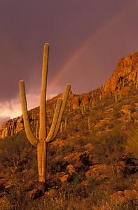 Saguaro Cactus and Rainbow