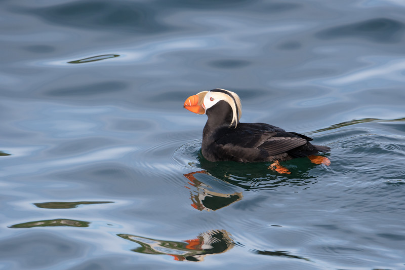 A Tufted Puffin floating on reflective waters.