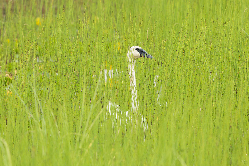 Trumpeter Swans in Horsetail Ferns