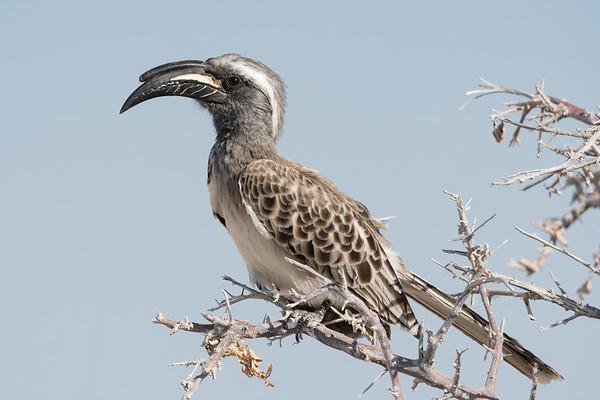 Gray Hornbill iin Acacia Tree