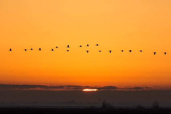 Golden Sun and Sandhill Cranes