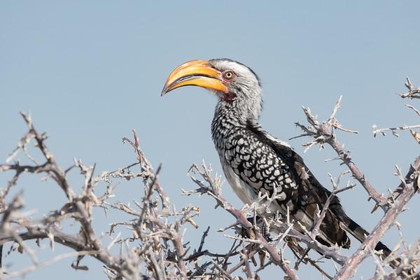 Yellow Hornbill in Acacia Tree