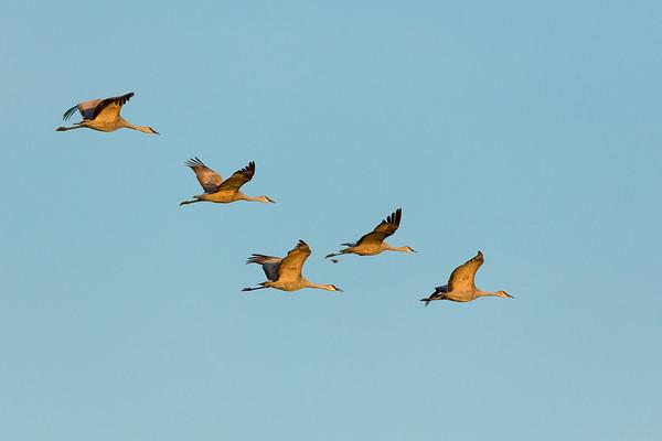 Lesser Sandhill Cranes in Afternoon Flight