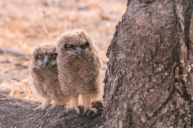 Fuzzy Chicks of Eagle Owl