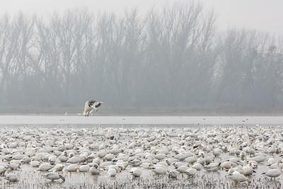 Snow Goose Landing
