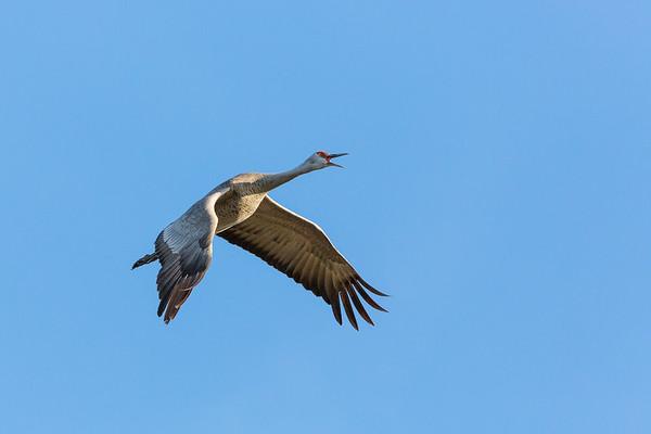 Vocalizing Lesser Sandhill Crane