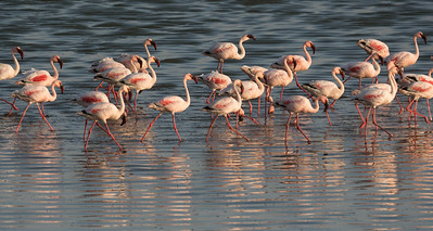 Flamingos wading in wetlands, Namibia.